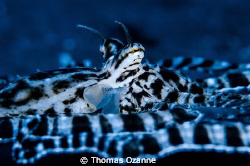 Mimic Octopus doing what it does... Lembeh Strait, North ... by Thomas Ozanne