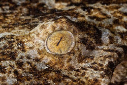 Wobbegong Shark's eye.  Nelson Bay, New South Wales.  Can... by Ross Gudgeon