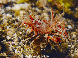 tiger shrimp found in Lembeh, D200 by Thomas Lueken