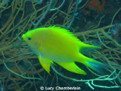 A Golden Damsel Fish, photographed in Thailand, August 2008 by Lucy Chamberlain