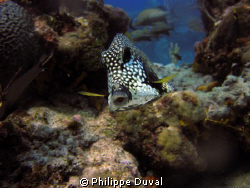 Truck fish taken in the marine park in Puerto morelos. by Philippe Duval