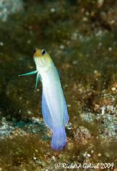 Yellowhead Jawfish-Roatan-Honduras 2009 by Richard Goluch