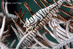 Zebra Shrimp on a Feather Star Fish by Leo Virgo Cabrera
