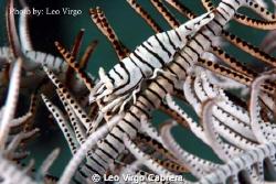 Zebra Shrimp on a Feather Star Fish by Leo Virgo Cabrera