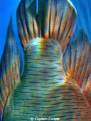 Abstract Napoleon fish by Cigdem Cooper