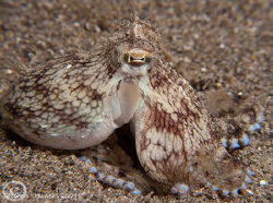Octopus out of his burrow in Anilao.  Canon G10, Sea and ... by Stephen Holinski