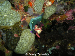 Dunno the name, specie, family or genus of this nudibranc... by Donny Zarsadias