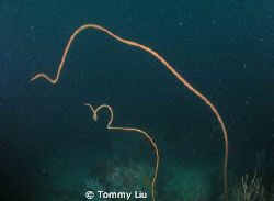 Sea whip mother said to son: I'll take care of you until ... by Tommy Liu