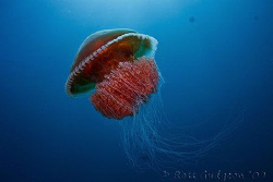 Yet another red jellyfish.  Ningaloo Reef, Western Austra... by Ross Gudgeon
