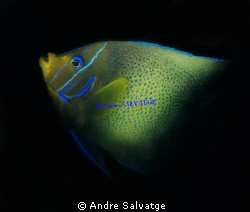 ANGEL FISH,VIETNAM BY ANDRE SALVATGE by Andre Salvatge