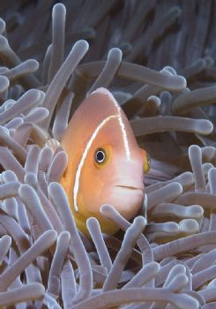 Anemone Fish. Mele Bay, Vanuatu. Nikon D100, 60mm macro. by Richard Harris