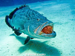The Roaring Grouper at Grand Bahamas.  Photo taken May 20... by Bonnie Conley