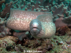 Grey / geometric moray (latin:siderea grisea)