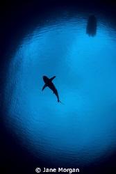 Grey reef shark in snells window by Jane Morgan