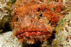 Scorpionfish-no cropping-Roatan 2009 by Richard Goluch