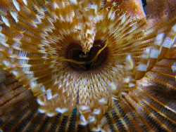Feather duster worm, up close and personal. by Juan Torres
