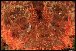 Scorpion Fish, close-up, no crop and he was pretty accomo... by Allen Walker