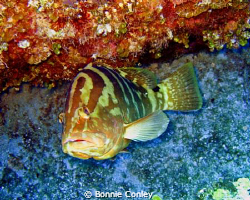 Grouper seen in Grand Bahamas May 2009.  Photo taken with... by Bonnie Conley