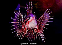 Broad barred Lionfish / firefish (latin: pterois antennat... by Mike Dickson