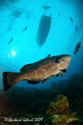 Groupers checking out  the boat-Roatan 2009 by Richard Goluch