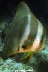 spadefish, ( platax orbicularis) shot at Ras Hamara musan... by Simon Gardener