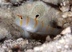 Orange Stripe Goby showing off its beauty... by Leo Virgo Cabrera