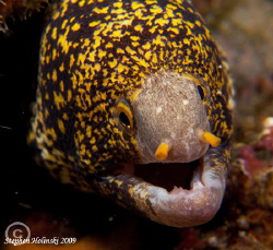 Moray in Anilao.  Canon G10, Inon closeup lenses, Sea and... by Stephen Holinski