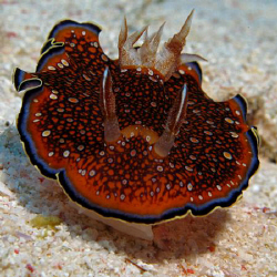 Red Sea Chromodoris. Canon G9 with Ikelite strobe by James Dawson