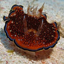 Red Sea Chromodoris. Canon G9 with Ikelite strobe by James Dawson
