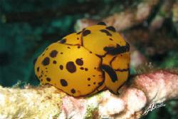 berthella martensi in Burmese waters by Adriano Trapani