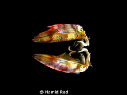 Reef squid & its reflection at the surface / Canon G9 wit... by Hamid Rad