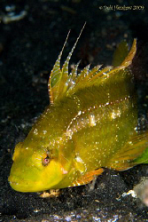 "Flagfin Wrasse - according to Neville Coleman ""a rarely s... by Debi Henshaw"
