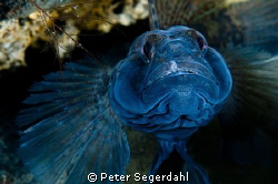 Black goby male trying to look as big and bad as possible... by Peter Segerdahl