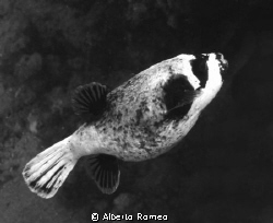 Arothron diatematosus