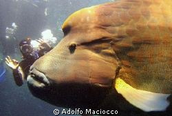 The Giant 6 meters Napoleon Wrasse :-) by Adolfo Maciocco
