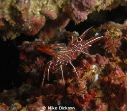 Tiny shrimp spotted in a small crack in the coral at Pear... by Mike Dickson