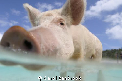 This swimming pig came out to meet us in our tender at Bi... by Carol Benbrook