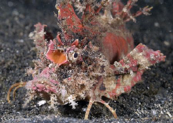Devil scorpion fish. Lembeh. D200, 60mm. by Derek Haslam