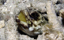 Banded jawfish with eggs; spent a long time just watching... by Ron Hyatt