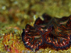 Gorgeous Flatworm @ Tioman Island, photo capture by Canon... by Derrick Lim