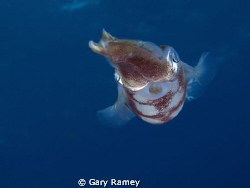 Common Reef squid. I love how initially they are timid bu... by Gary Ramey