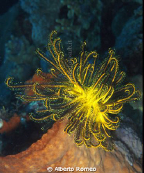 Blak&Yellow Feather Star (Comanthina schlegeli) on orange... by Alberto Romeo