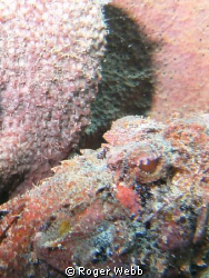 Thought it was unusual to find this guy in the sponge. by Roger Webb