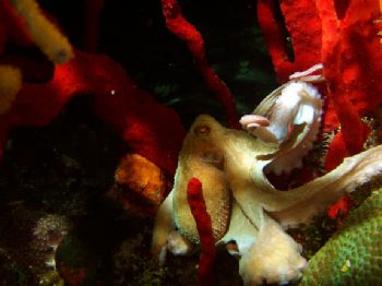Octopus on a night dive in Cozumel, Mexico.  Picture was ... by Alan Werner