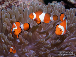 Clown Anemonefishes (Amphiprion ocellaris) - Moyo island,... by Marco Waagmeester