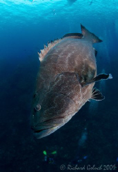 Large Black Grouper- Canon 16-35 mm -Roatan 2009 by Richard Goluch