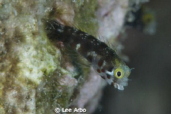 Blenny off Buddy Reef in Bonaire. by Lee Arbo