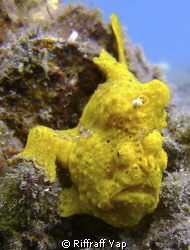 Yellow frog fish at Lembeh Straits. by Riffraff Yap