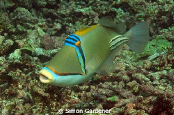 picasso trigerfish ( rhinecanthus assasi) shot in khor fa... by Simon Gardener