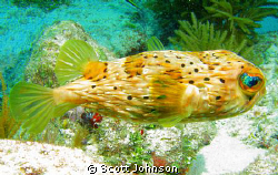Somebody told me it was a cowfish.I dont know.But I took ... by Scott Johnson